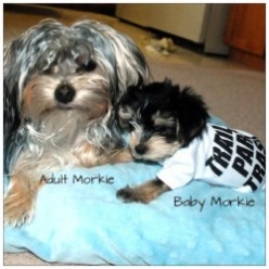 Classic Morkie Puppies