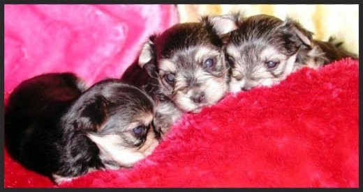 Three week old Morkies