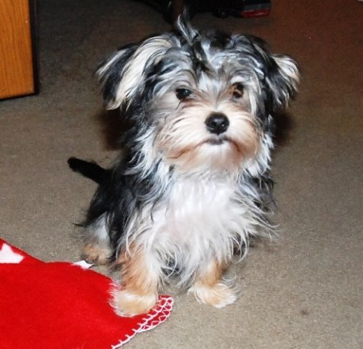 Blueberry the Morkie