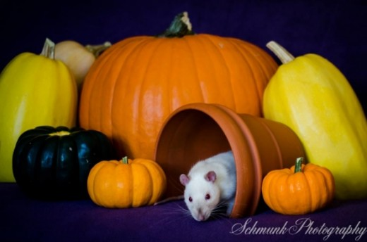 My brother is an aspiring photographer, so I get free photoshoots of my rats! To see more of his work visit his facebook page: http://www.facebook.com/pages/Schmunk-Photography/287144731391839?fref=ts