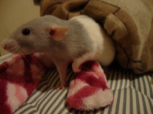 Homemade Toys Beds Cages And Accessories For Pet Rats