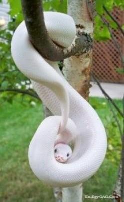 Snakes in Dreams