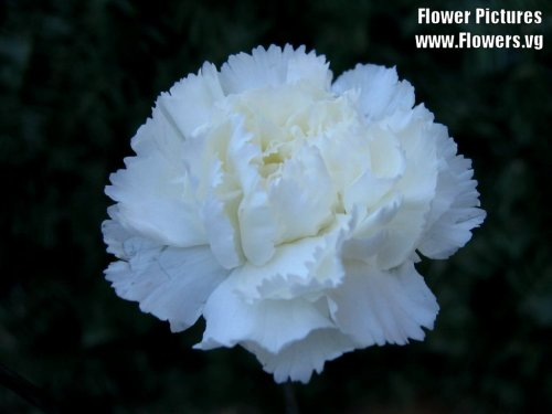 White carnation Anna Jarvis's prefered Mother's Day Gift