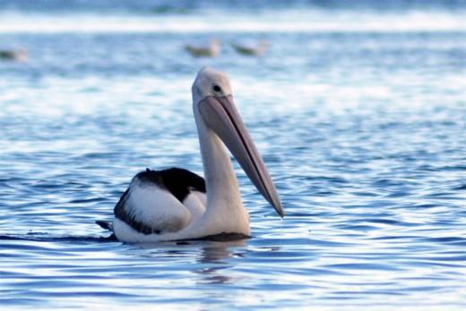 Pelicans are a regular sight at Rickett's Point
