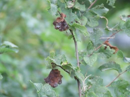 Dutch Elm Disease- Very deadly fungal pathogen