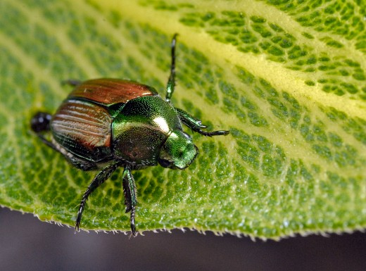 Japanese Beetle- Feeds on 300 different host plants