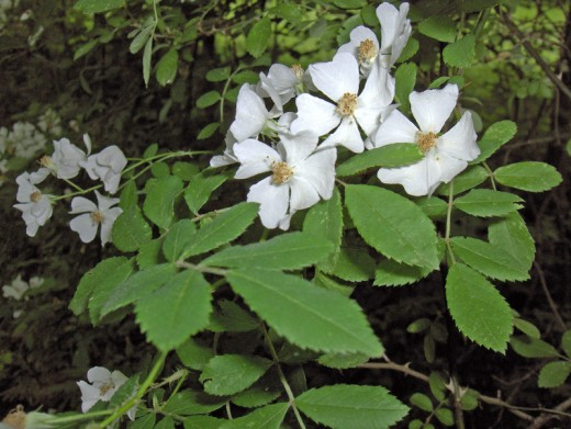 Multiflora Rose- Dense thickets crowd out native species