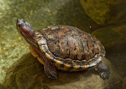 Red-Eared Slider (Released by pet owners)- Out-competes native turtles for food and basking sites