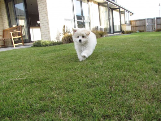 Fluffy running