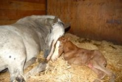 A Horse's Gestation and Foaling