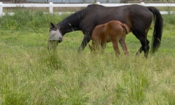 Mare and foal grazing in a pasture.