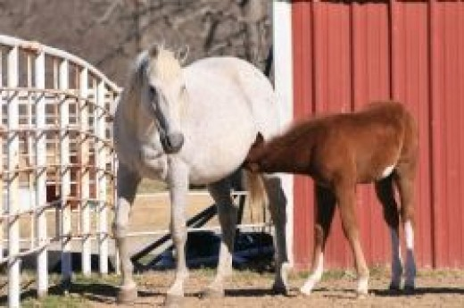 A mare nursing her foal.