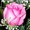 RosePetals LM profile image