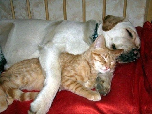 Dog and Cat Cuddle Pals