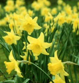 #32  Take time to enjoy the Daffodils they only bloom once a year!