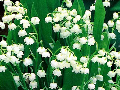 #89 Lily of the Valley (May's Flower and my birthday Flower)