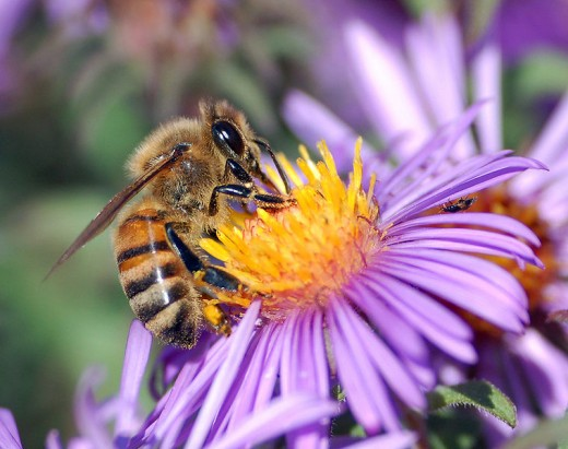 #91 Honey Bees! They make honey and pollenate the world!