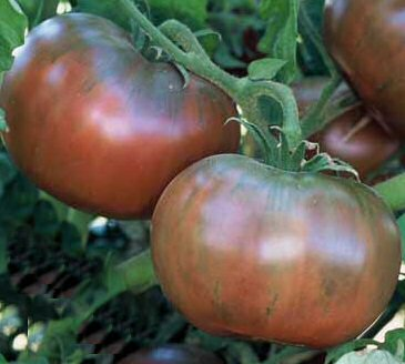 # 96 Cherokee Purple Heirloom Tomatoes (They are Delicious!)