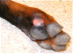 Causes of Cracked Paw Pads in Dogs
