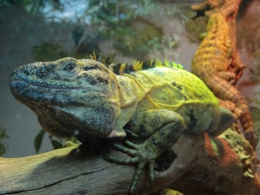 Iguanas at the Denver Zoo
