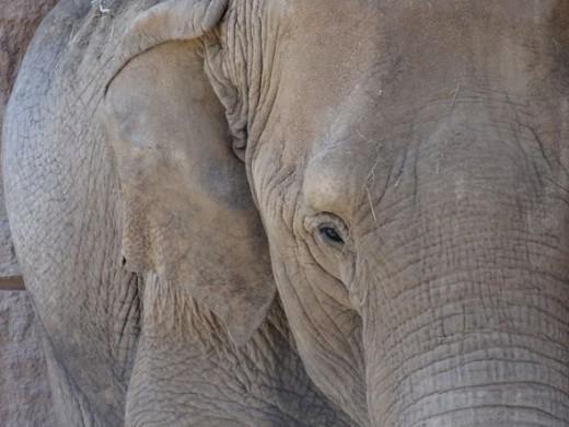 Wise Old Elephant
