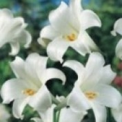 Rem Lily profile image