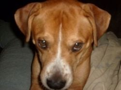 Fawn Pit Bull Boxer Mix
