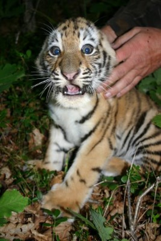 Tigers are wild animals and do not usually make good pets!