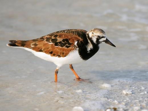 In breeding plumage
