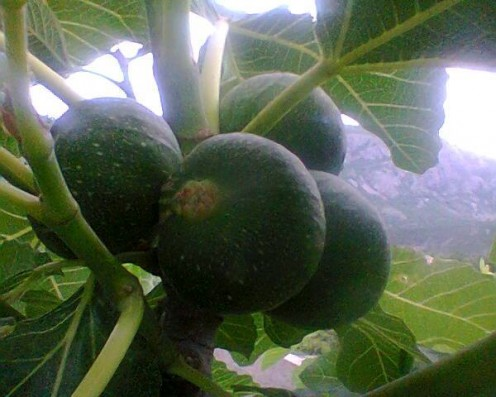 A fig tree in our garden.
