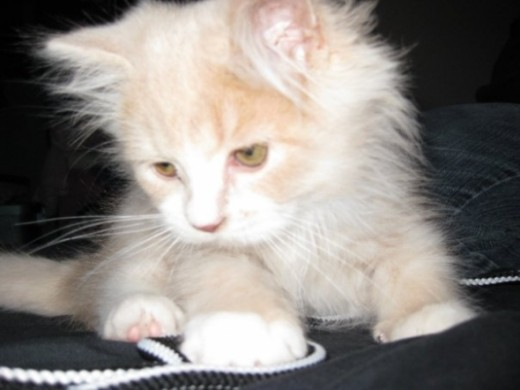 Oliver as a kitten (January, 2009).