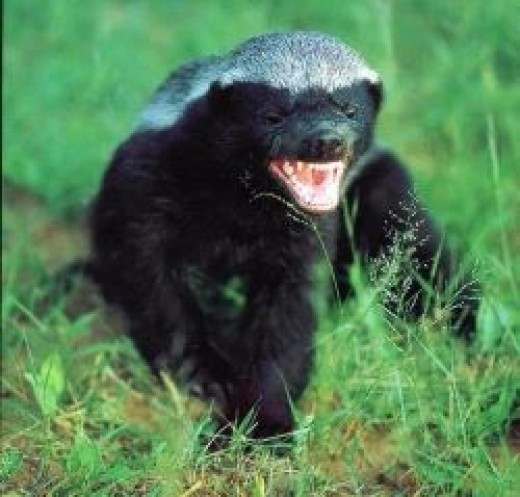 Badgers: among nature's most dangerous animals