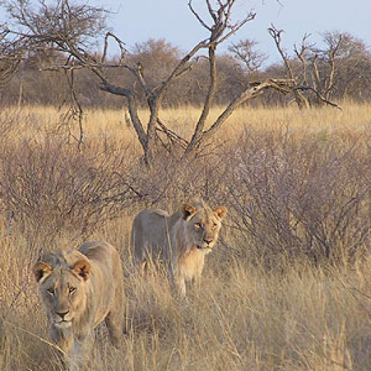 Lions in Tsavo National Park Kenya