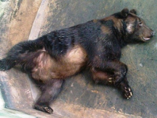 Its a lazy Grizzly Bear!