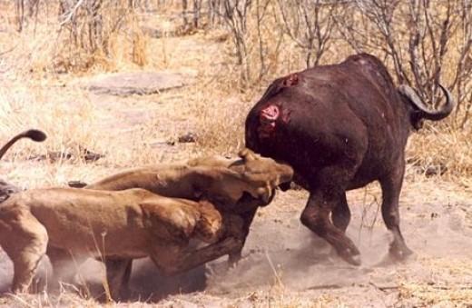 Lions hunting a buffalo