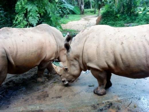 2 Big Rhinos!