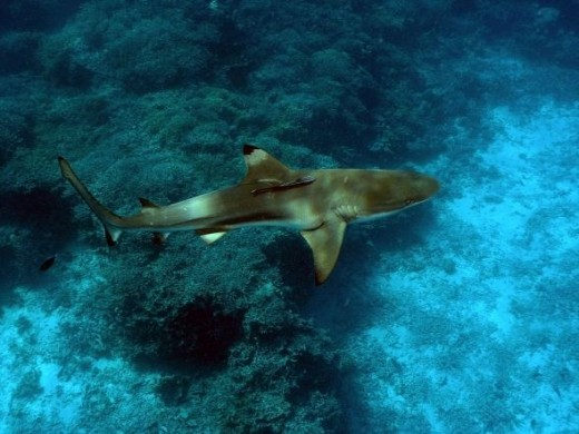 The Black Tip Reef Shark