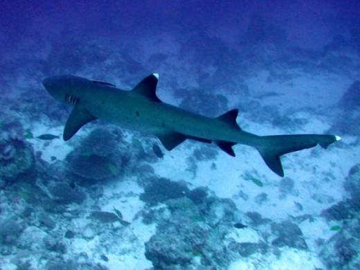 The White Tip Reef Shark