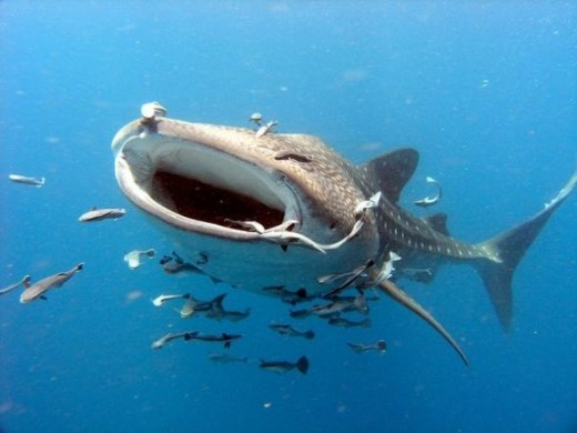 Largest Fish In The World