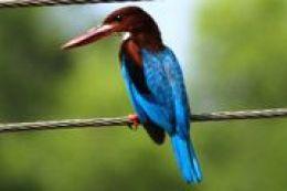 White breasted kingfisher Image courtesy Wikipedia
