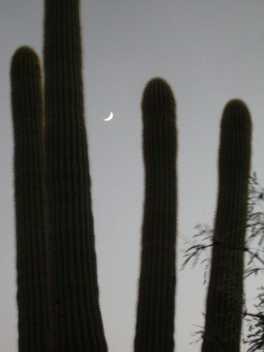 Moon rising between arms of a giant Saguaro Cactus at start of Finger Rock Trail in Tucson, AZ