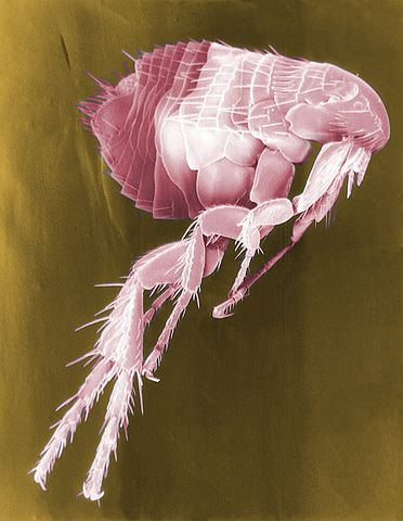 """A flea under an electron microscope. The pink color seems to be due either to lighting or some sort of process they were carrying out, as it's labeled """"false color."""""""