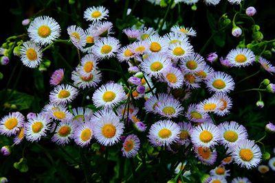 Spring Daisy Fleabane Flowers