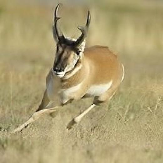 Pronghorn Bucks. Pronghorn Running yourstuffwork.blogspot.com