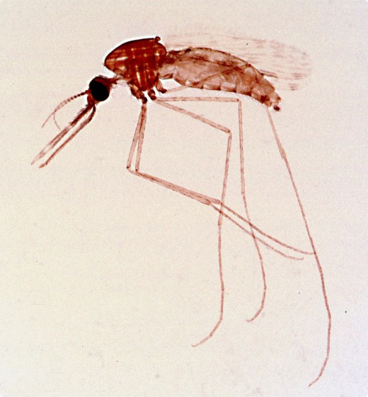 Female Anopheles mosquito