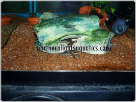 The African Dwarf Frog Cave - who'd have thought the frogs would love the cave?