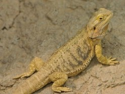 Beginner's Guide for Keeping a Bearded Dragon