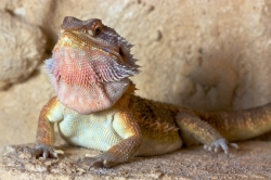 Bearded Dragon Puffing Its Beard Out