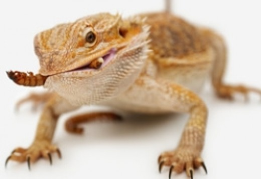 Bearded Dragon Snacking On a Mealworm