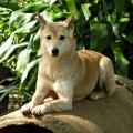 Dingo: The Australian Wild Dog